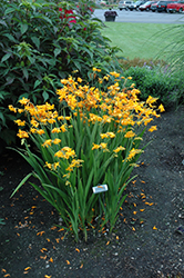 Walberton Yellow Crocosmia (Crocosmia 'Walcroy') at Squak Mountain Nursery