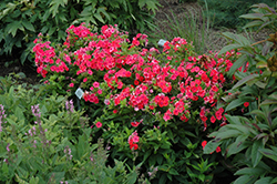 Coral Flame Garden Phlox (Phlox paniculata 'Barsixtytwo') at Squak Mountain Nursery
