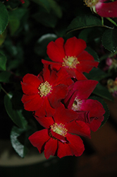 Flower Carpet Red Rose (Rosa 'Flower Carpet Red') at Squak Mountain Nursery