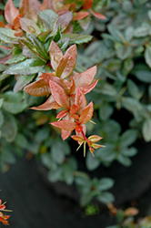 William Penn Barberry (Berberis x gladwynensis 'William Penn') at Squak Mountain Nursery