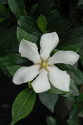 Pinwheel Gardenia (Gardenia jasminoides 'Pinwheel') at Squak Mountain Nursery