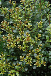 Compact Inkberry Holly (Ilex glabra 'Compacta') at Squak Mountain Nursery