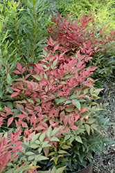 Obsession™ Nandina (Nandina domestica 'Seika') at Squak Mountain Nursery