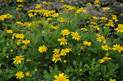Green Leafed Euryops (Euryops pectinatus 'Viridis') at Squak Mountain Nursery
