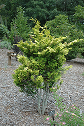 Tetragona Aurea Hinoki Falsecypress (Chamaecyparis obtusa 'Tetragona Aurea') at Squak Mountain Nursery