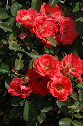 Coral Drift® Rose (Rosa 'Meidrifora') at Squak Mountain Nursery