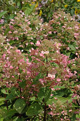 Fire And Ice Hydrangea (Hydrangea paniculata 'Wim's Red') at Squak Mountain Nursery