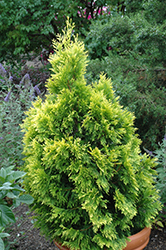 Forever Goldy Arborvitae (Thuja plicata '4ever') at Squak Mountain Nursery