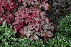 Carnival Peach Parfait Coral Bells (Heuchera 'Peach Parfait') at Squak Mountain Nursery
