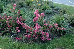 Sonic Bloom® Pink Reblooming Weigela (Weigela florida 'Bokrasopin') at Squak Mountain Nursery