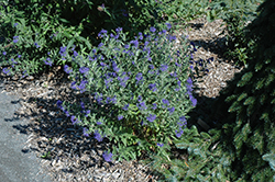 First Choice Caryopteris (Caryopteris x clandonensis 'First Choice') at Squak Mountain Nursery