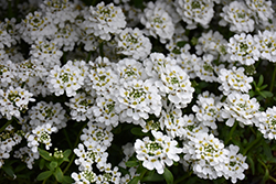 Snowflake Candytuft (Iberis sempervirens 'Snowflake') at Squak Mountain Nursery