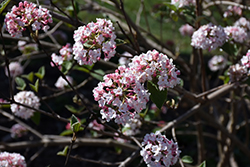 Koreanspice Viburnum (Viburnum carlesii) at Squak Mountain Nursery