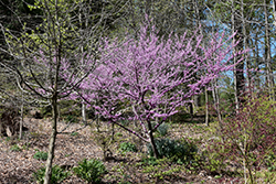 Hearts of Gold Redbud (Cercis canadensis 'Hearts of Gold') at Squak Mountain Nursery