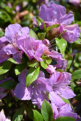 Encore® Autumn Lilac™ Azalea (Rhododendron 'Robles') at Squak Mountain Nursery