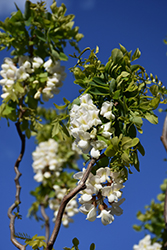 Twisted Baby® Black Locust (Robinia pseudoacacia 'Lace Lady') at Squak Mountain Nursery