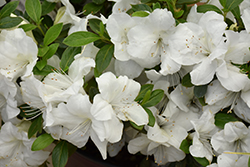 Encore® Autumn Ivory™ Azalea (Rhododendron 'Roblev') at Squak Mountain Nursery