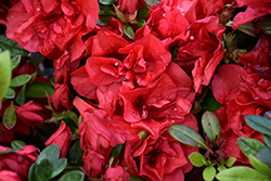 Encore® Autumn Fire™ Azalea (Rhododendron 'Roblez') at Squak Mountain Nursery