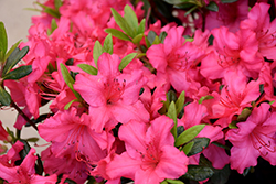 Girard's Rose Azalea (Rhododendron 'Girard's Rose') at Squak Mountain Nursery