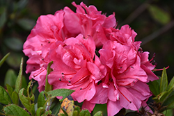 Encore® Autumn Carnival™ Azalea (Rhododendron 'Conlet') at Squak Mountain Nursery