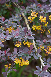 Royal Cloak Japanese Barberry (Berberis thunbergii 'Royal Cloak') at Squak Mountain Nursery