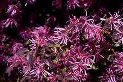 Razzleberri Fringeflower (Loropetalum chinense 'Razzleberri') at Squak Mountain Nursery