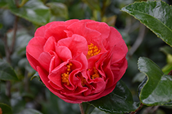 Kramer's Supreme Camellia (Camellia japonica 'Kramer's Supreme') at Squak Mountain Nursery