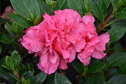 Bloom-A-Thon® Pink Double Azalea (Rhododendron 'RLH1-2P8') at Squak Mountain Nursery