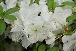 Girard's Pleasant White Azalea (Rhododendron 'Girard's Pleasant White') at Squak Mountain Nursery