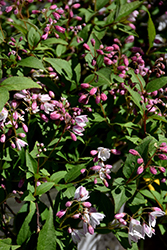 Yuki Cherry Blossom® Deutzia (Deutzia 'NCDX2') at Squak Mountain Nursery