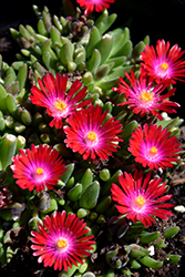 Jewel Of Desert Garnet Ice Plant (Delosperma 'Jewel Of Desert Garnet') at Squak Mountain Nursery