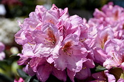 Lavender Princess Rhododendron (Rhododendron 'Lavender Princess') at Squak Mountain Nursery