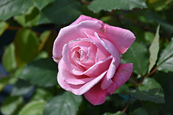 Belinda's Dream Rose (Rosa 'Belinda's Dream') at Squak Mountain Nursery