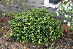 Green Beauty Boxwood (Buxus 'Green Beauty') at Squak Mountain Nursery