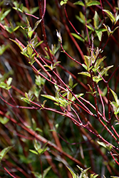 Bailey's Red Twig Dogwood (Cornus sericea 'Baileyi') at Squak Mountain Nursery