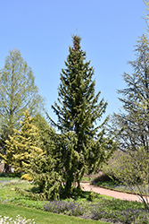 Serbian Spruce (Picea omorika) at Squak Mountain Nursery