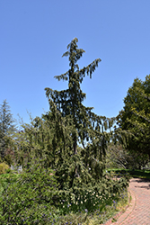 Weeping Nootka Cypress (Chamaecyparis nootkatensis 'Pendula') at Squak Mountain Nursery