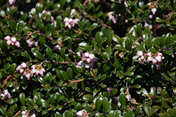 Bearberry (Arctostaphylos uva-ursi) at Squak Mountain Nursery