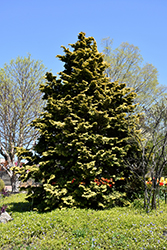 Confucius Hinoki Falsecypress (Chamaecyparis obtusa 'Confucius') at Squak Mountain Nursery