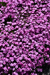 Emerald Pink Moss Phlox (Phlox subulata 'Emerald Pink') at Squak Mountain Nursery