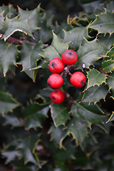 Red Beauty Holly (Ilex 'Rutzan') at Squak Mountain Nursery