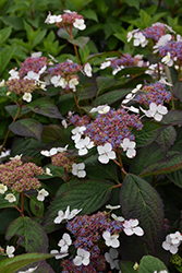 Blue Bird Hydrangea (Hydrangea macrophylla 'Blue Bird') at Squak Mountain Nursery
