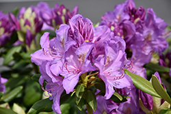 Boursault Rhododendron (Rhododendron catawbiense 'Boursault') at Squak Mountain Nursery