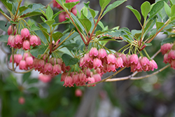 Redvein Enkianthus (Enkianthus campanulatus) at Squak Mountain Nursery