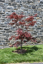 Red Spider Japanese Maple (Acer palmatum 'Red Spider') at Squak Mountain Nursery