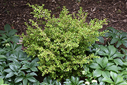 Golden Dream Boxwood (Buxus microphylla 'Peergold') at Squak Mountain Nursery