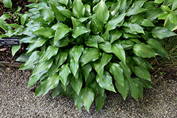 Lanceleaf Hosta (Hosta lancifolia) at Squak Mountain Nursery