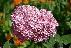 Invincibelle® Spirit Smooth Hydrangea (Hydrangea arborescens 'NCHA1') at Squak Mountain Nursery