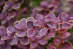 First Editions® Toscana™ Barberry (Berberis thunbergii 'BailJulia') at Squak Mountain Nursery
