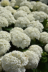 Incrediball® Hydrangea (Hydrangea arborescens 'Abetwo') at Squak Mountain Nursery